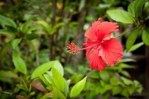 Hibiscuspulver