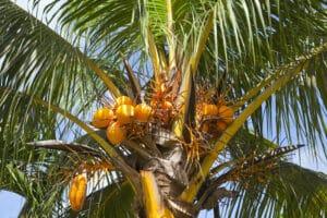 Kokosblütensirup
