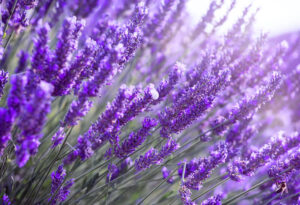 Lavendelextrakt