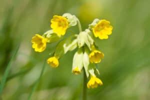 Schlüsselblumen-Blüten
